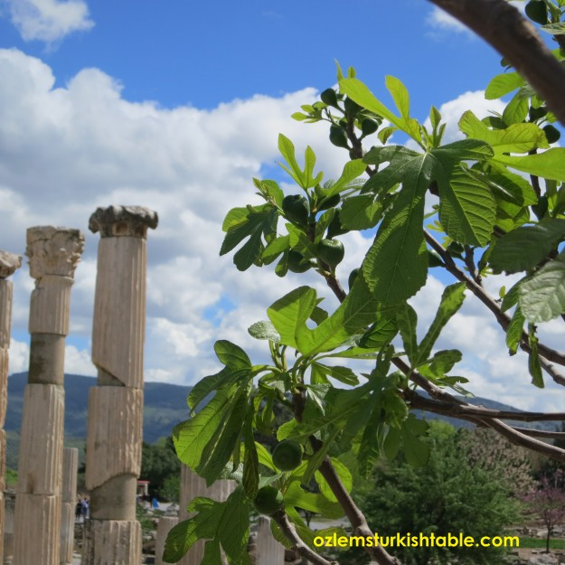 Fig trees at the Ephesus